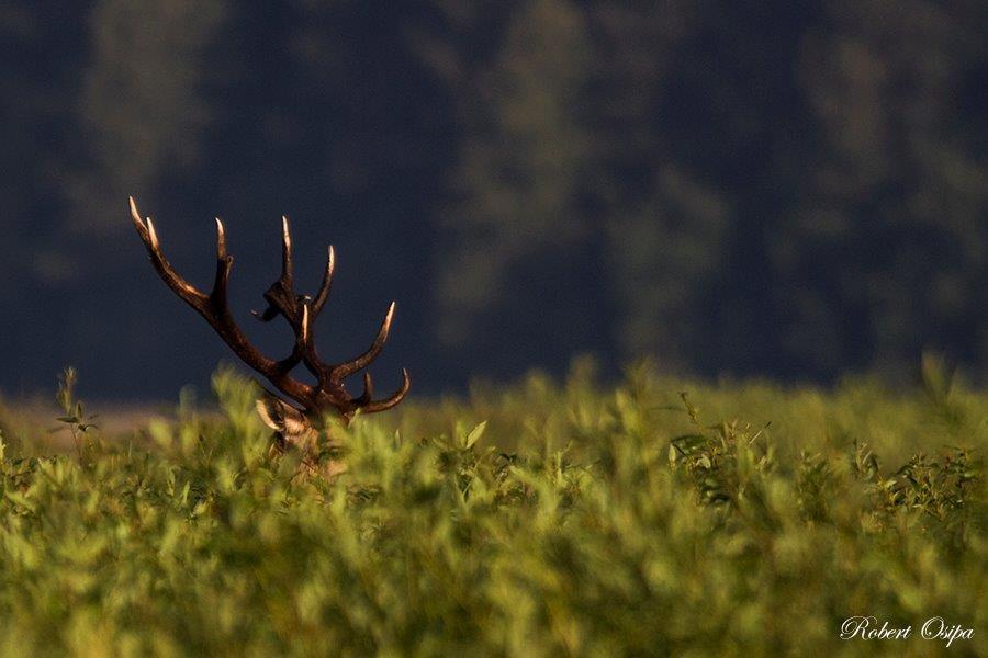 jeleń korona